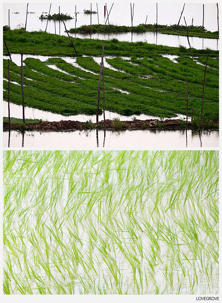 14. Agriculture by design. The start of the wet season is the right time to visit Cambodia. Just one month before the fields were baron waiting for the first rains. Now they are lush with the vibrant green shoots of newly planted rice.