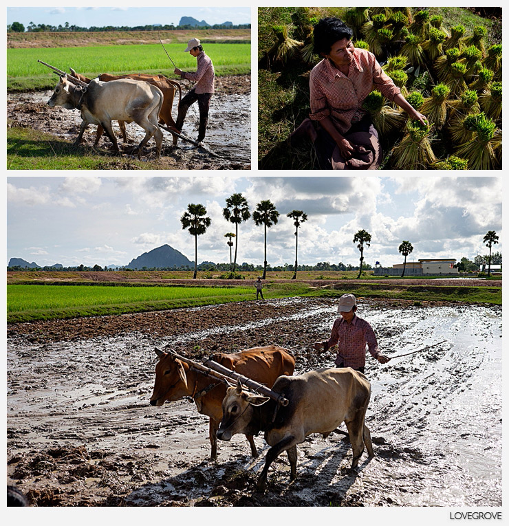 16. Rice planting near Kep in the South of Cambodia still utilises the traditional methods unchanged for centuries. Tractors are arriving in Cambodia by the thousand so it is likely that this method will be gone for good within the next couple of years.
