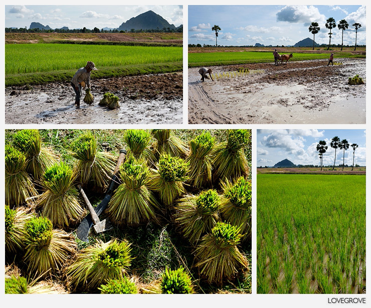 17. The clothes that the rice planters wear disguises the intense heat. Always in the high 30s and with high humidity.